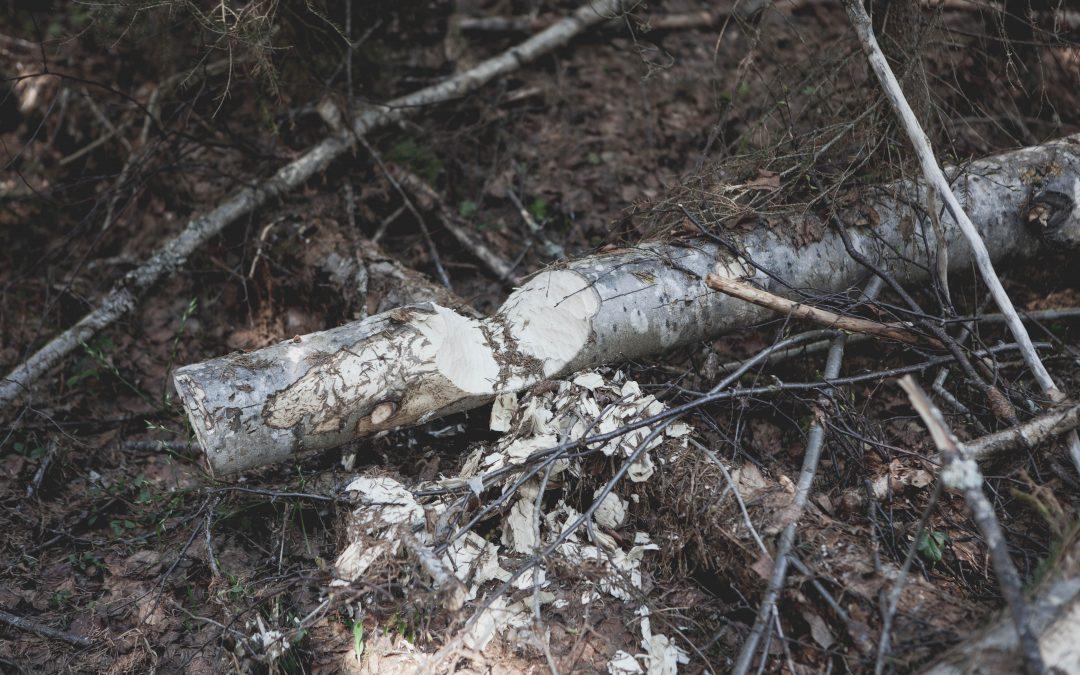 I Skuleskogen bland harsyra och bäverdamm