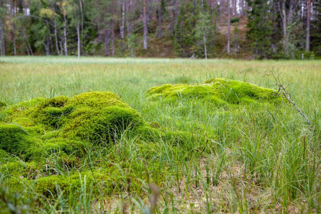 grön myr i skogen