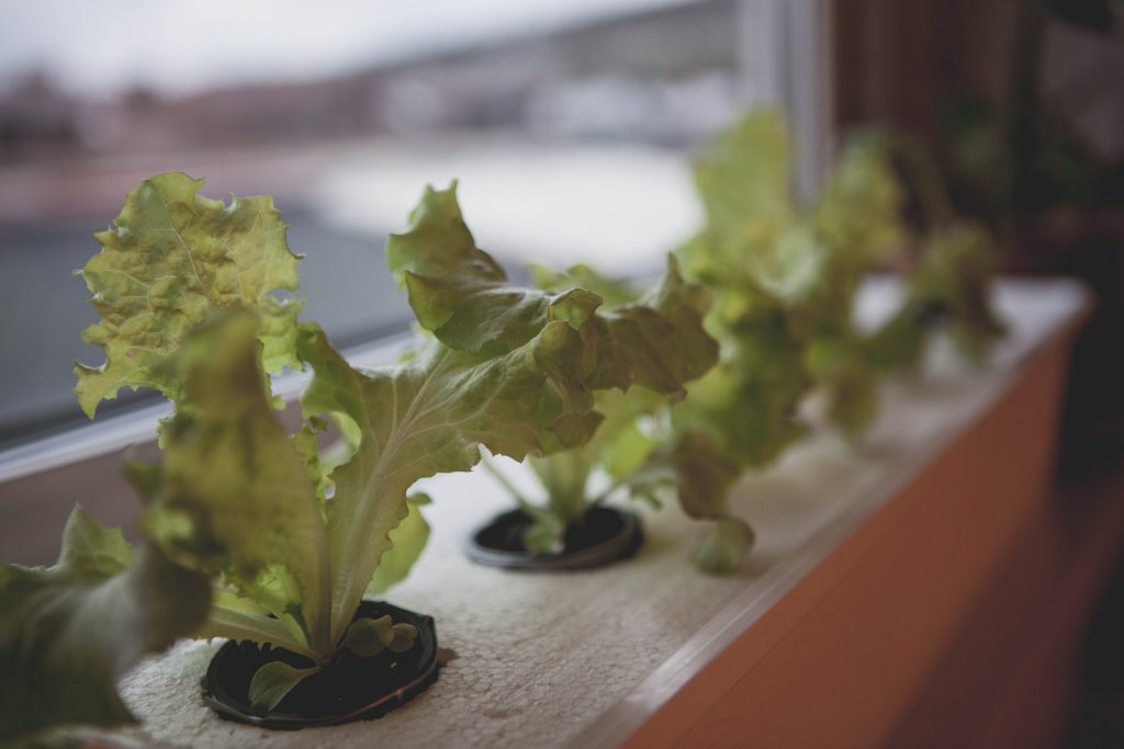 Hydroponisk odling med sallat